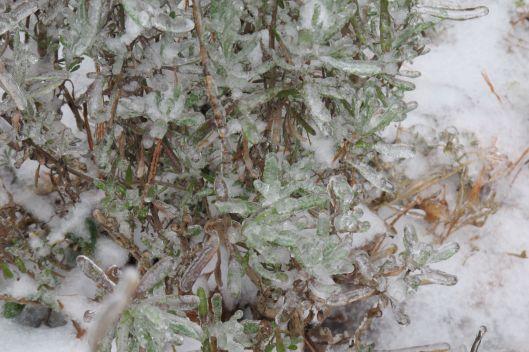 Lavender on ice