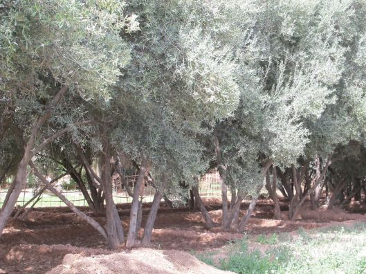 7-olivegrove