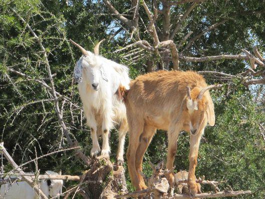 goats0