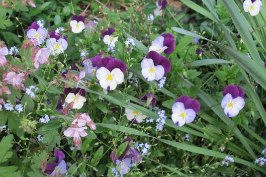 pansies for Boots