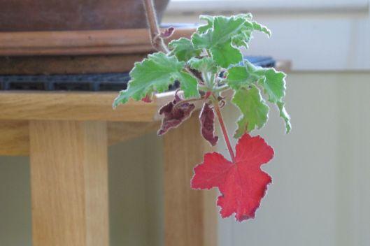 geranium close