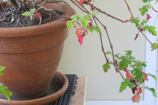 geraniumLong