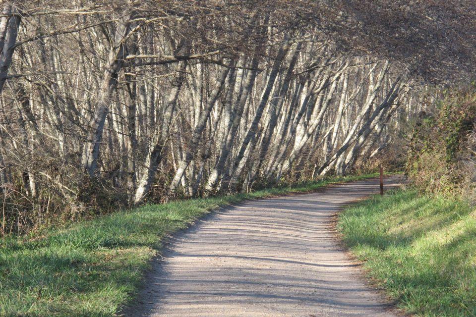 Birches ©Judith A. Ross