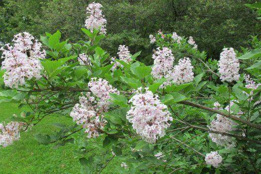 4-lilacs