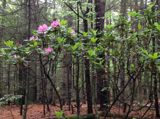 Rhododendron in the woods