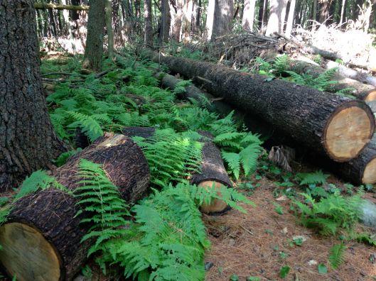Logs_ferns